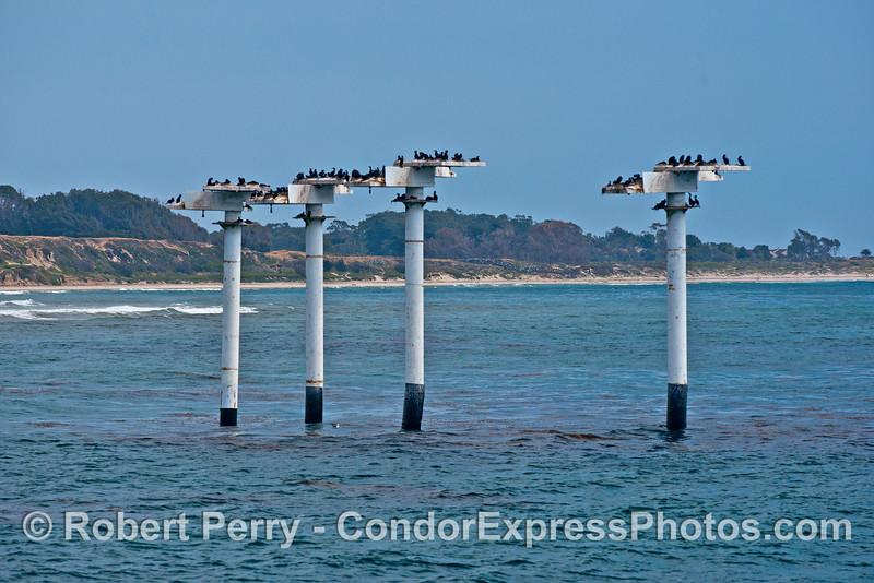 Cormorant nesting posts - Ellwood