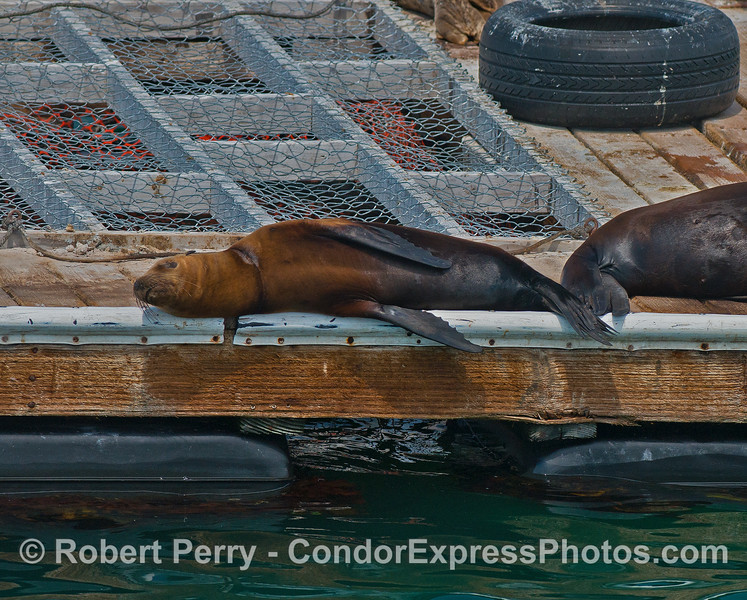 California sea lion pup resting on the harbor bait barge