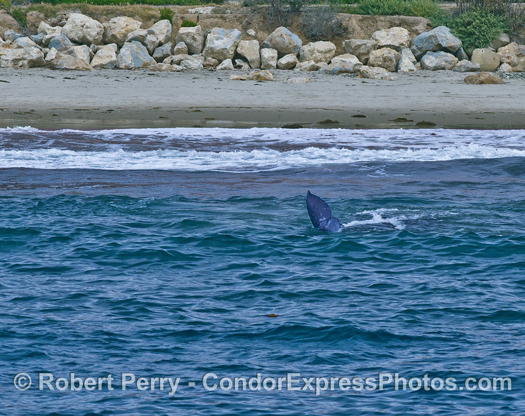 Gray whales in the surf - tail fluke of a calf