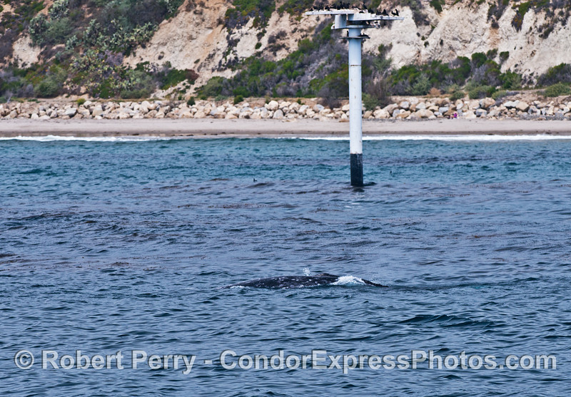 Two gray whales near the cormorant nesting posts at Ellwood