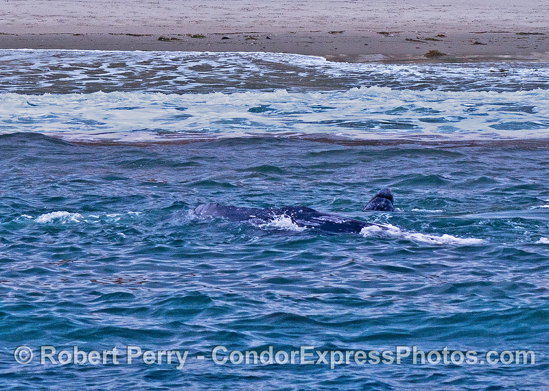 Gray whales in the surf - a large female in the foreground and her calf lifts its little head inside of her