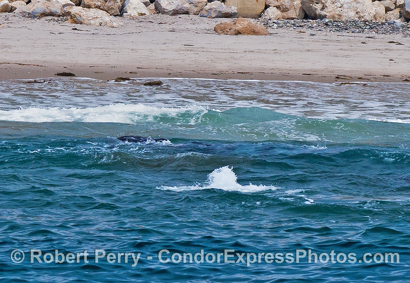 Gray whales in the surf  - a bubble blast plus, if you look close enough, you will see a large female just under the surface sideways in the wave.  A juvenile is inside the wave towards the beach.