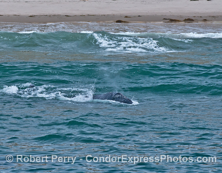 Gray whales in the surf - busting through the oncoming waves (with a spout)