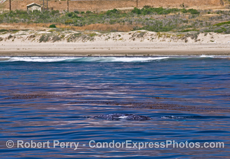 Mother gray whale and her calf travel northbound along the edge of the giant kelp forest.