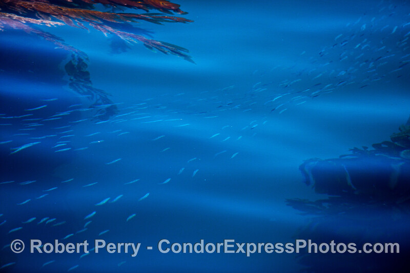 A stream of northern anchovies flows through the giant kelp in blue water.