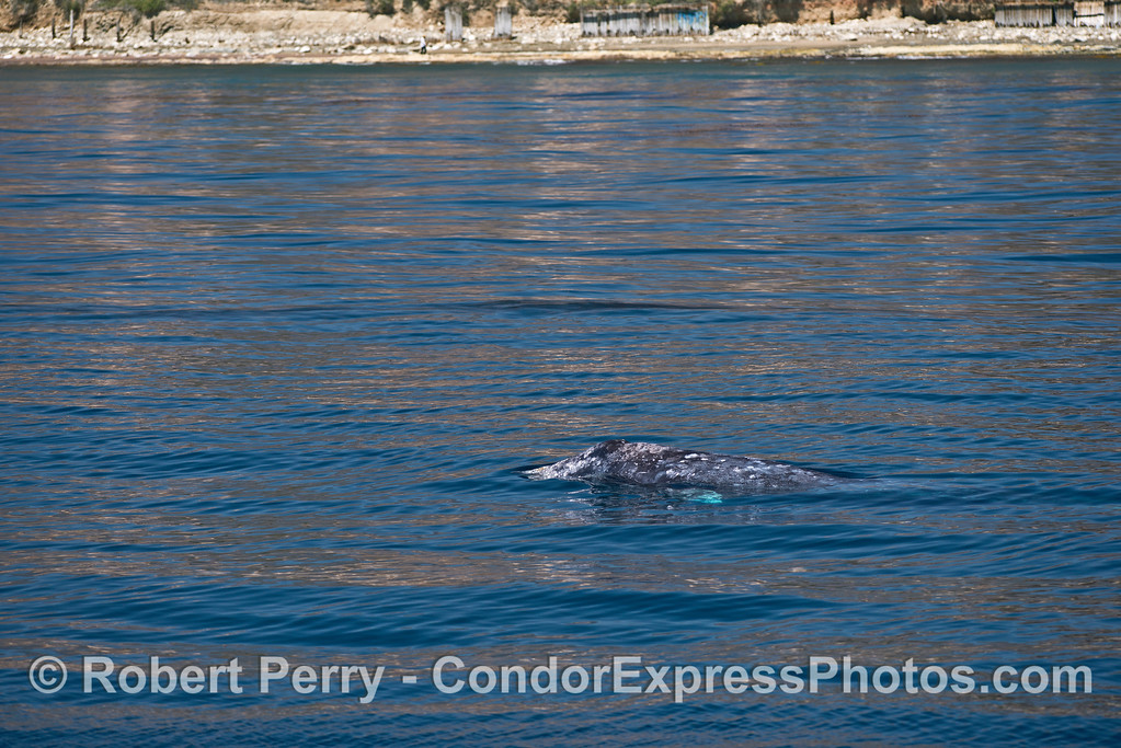 Mother gray whale and her calf.
