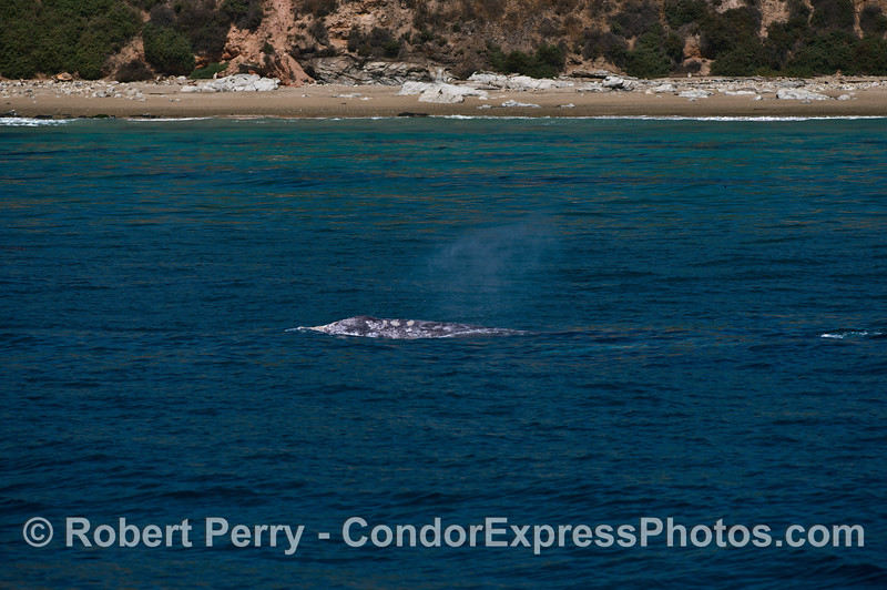 Gray whales near the beach - mother and calf (underwater to right)