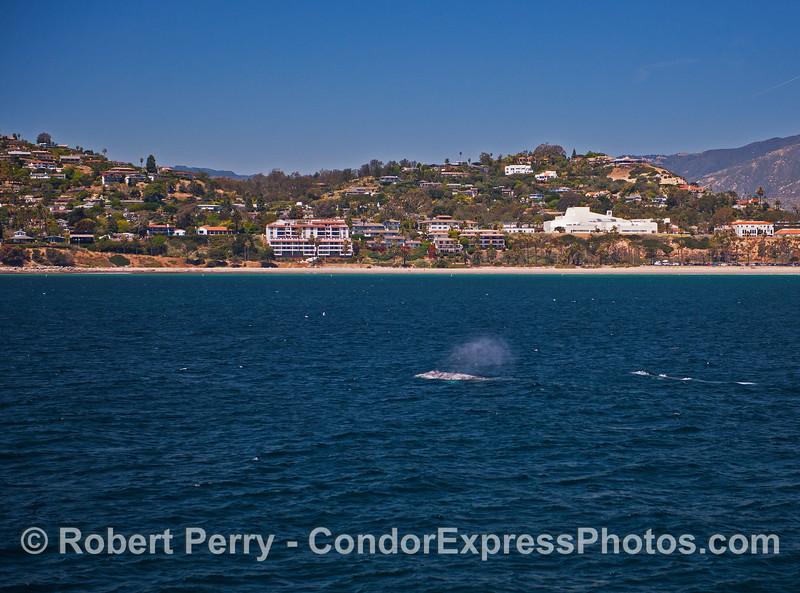 Gray whales near Shoreline Drive