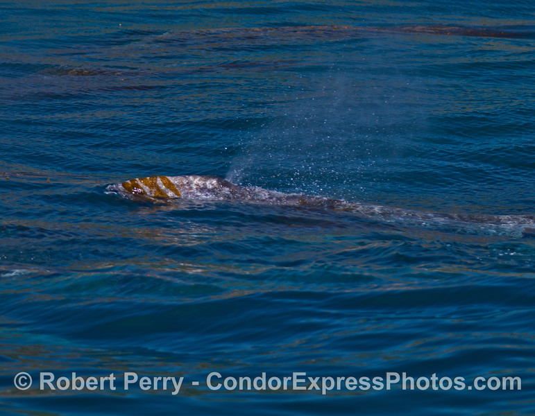 Gray whale with giant kelp (Macrocystis) on its head.  Like most marine mammals, gray whales seem to enjoy interacting with kelp.