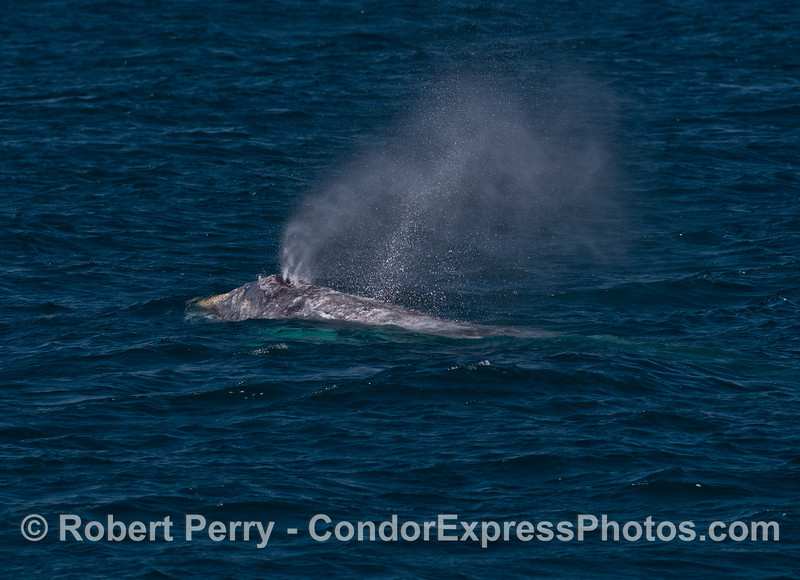 Spouting in the breeze - gray whale
