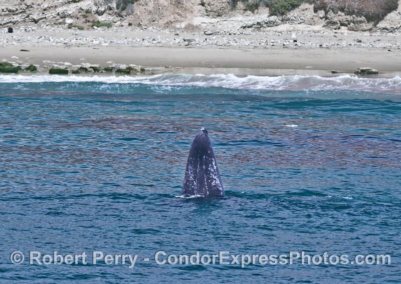 Gray whale spy hop near the beach