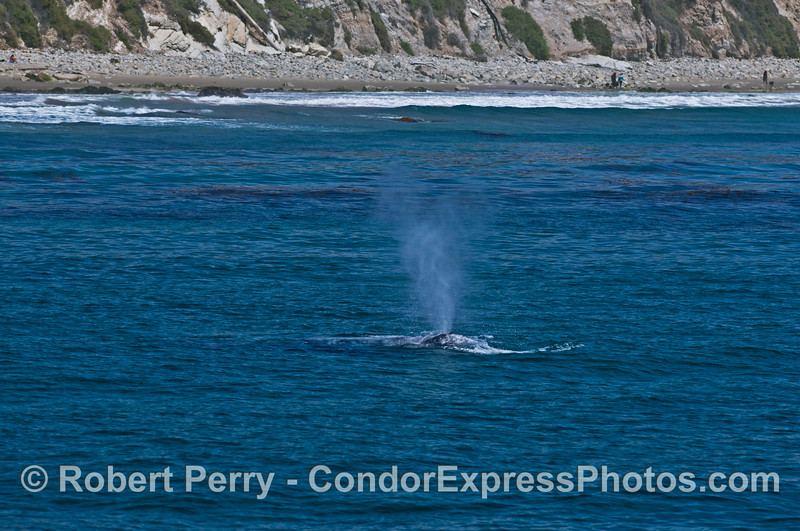 Gray whale near the beach