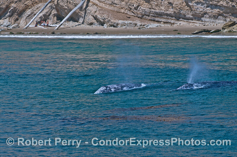 Two of the four gray whales in the kelp bed