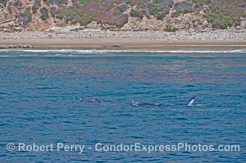 Many gray whales cavort in shallow water