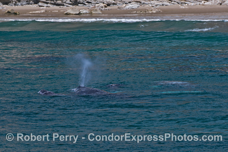 Four gray whales near the surf zone