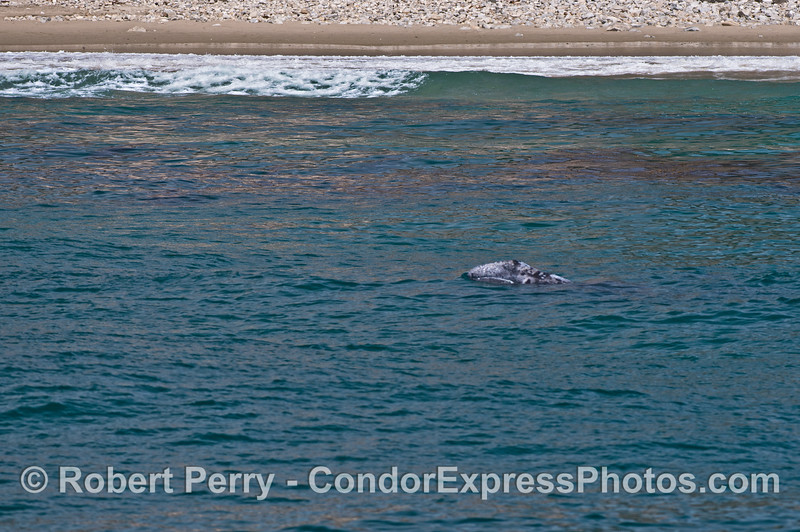 Gray whale calf lifts its head to look around at the beach