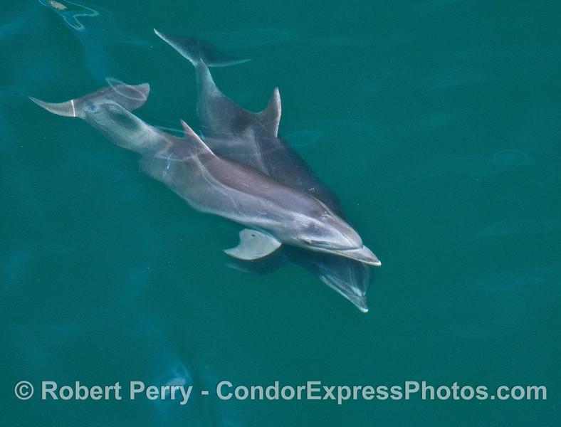 Bottlenose dolphin mother and calf criss cross