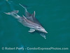 Bottlenose dolphin mother and calf criss cross