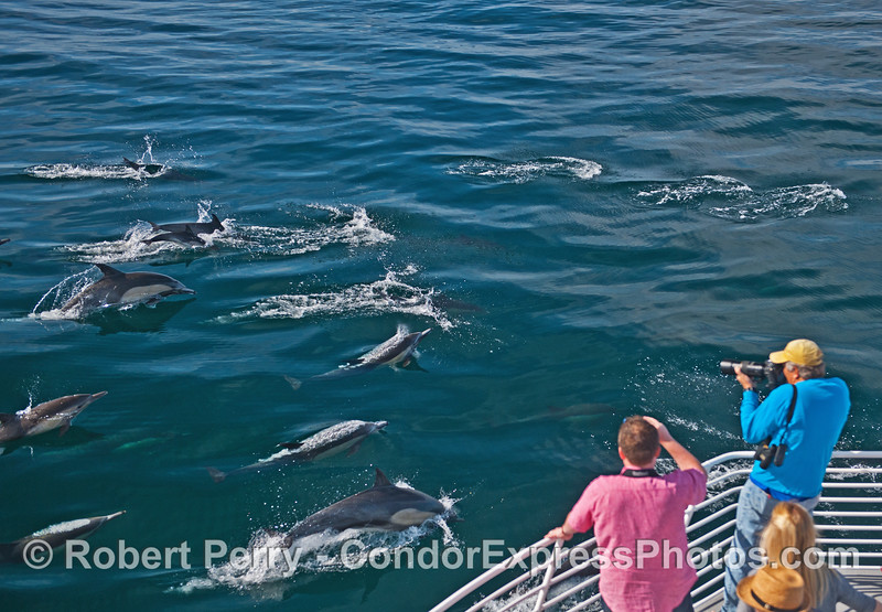 Passengers get great shots of the common dolphins