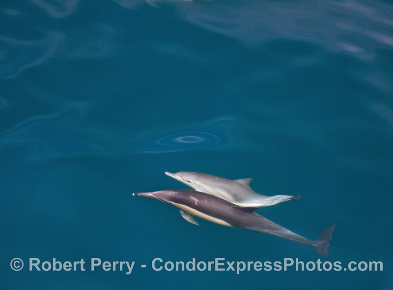 Long-beaked common dolphin mother and calf