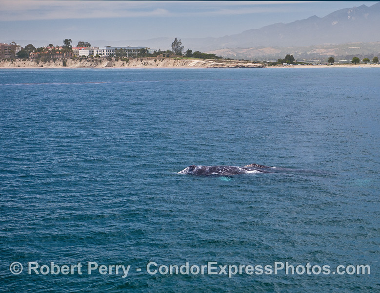 Gray whale mother and calf