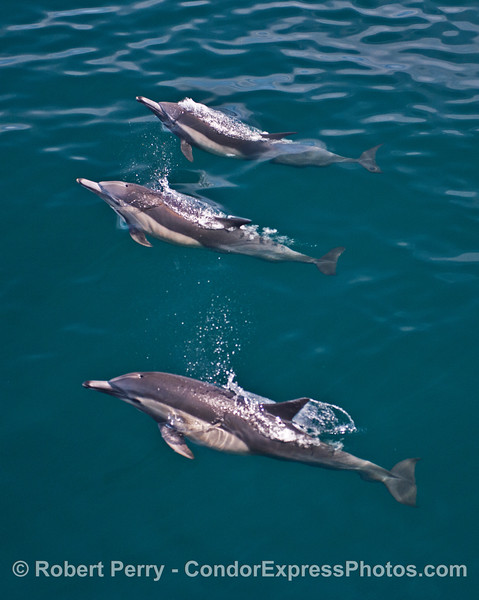 Three lon-beaked common dolphins