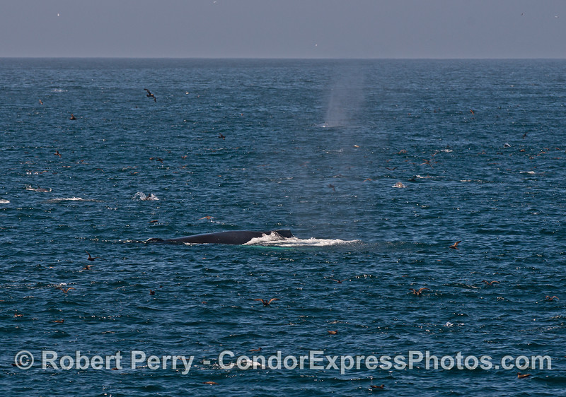 Two humpback whales (spout from 2nd whale is seen in back) surrounded by dolphins and seabirds on a hot spot