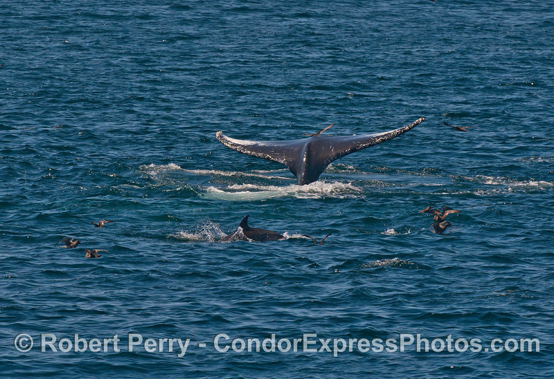 An upside down, surface lunge-feeding humpback whale with a common dolphin and sooty shearwaters