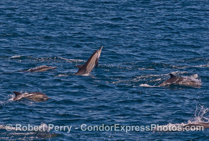 Long-beaked common dolphin - this animal breached 11 times in a row.