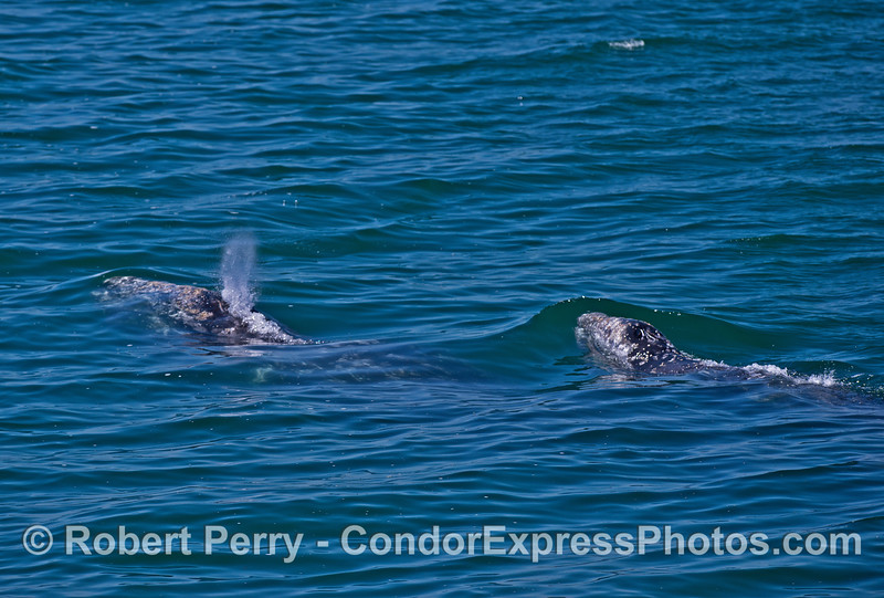 Mother gray whale (left) and her calf