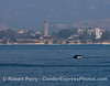 Humpback whale with Storke Tower UCSB in the background