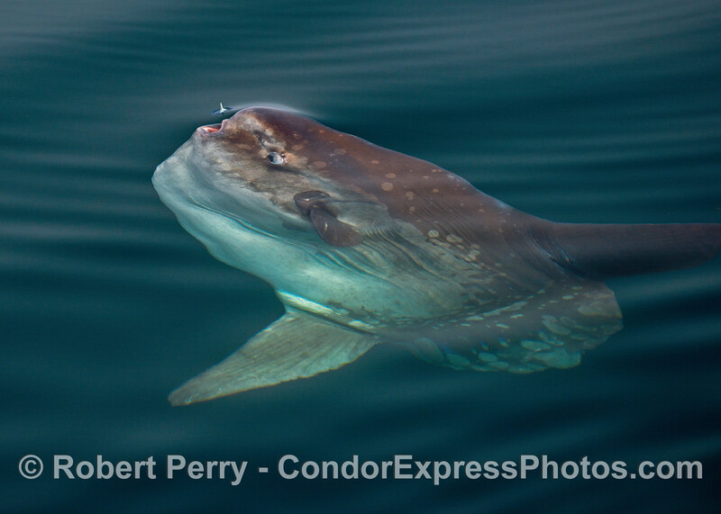 Ocean sunfish, Mola mola, and a Velella about ready to enter the open mouth
