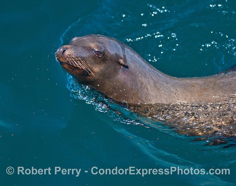 Portrait of a California sea lion.