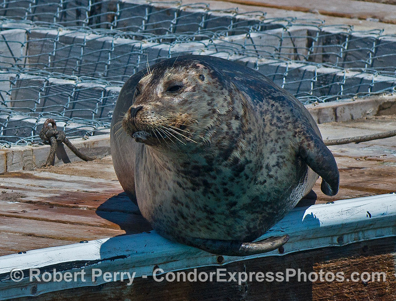 A hansome Pacific harbor seal on the Santa Barbara Harbor bait barge