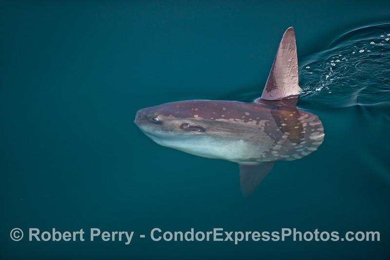 Ocean sunfish, Mola mola, in clear water