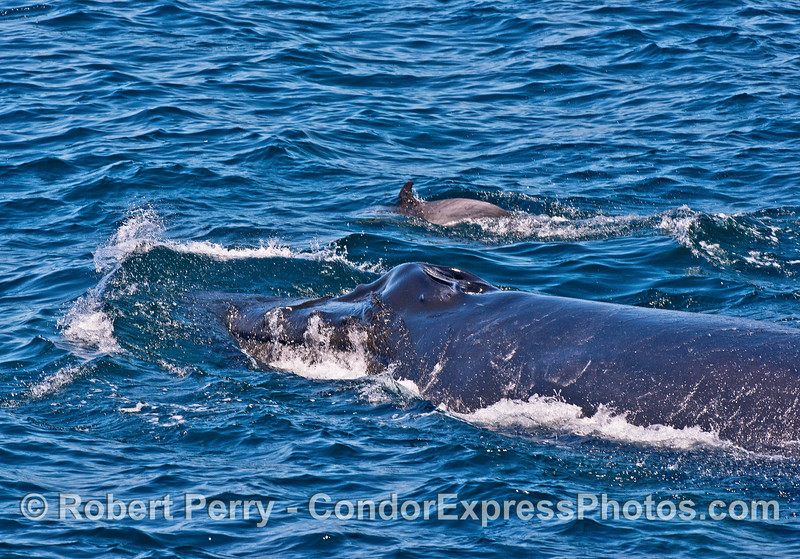 Humpback whale and long-beaked common dolphin together