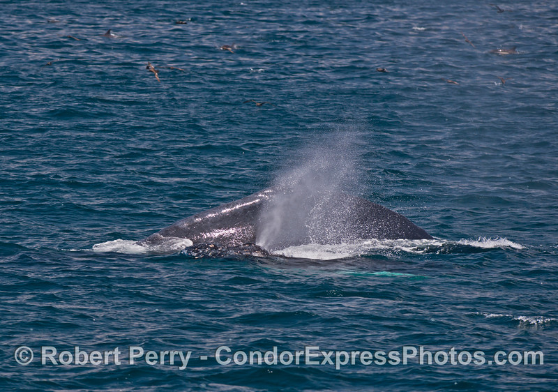 Mother and spouting humpback whale calf