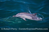 Long-beaked common dolphin - leaping calf