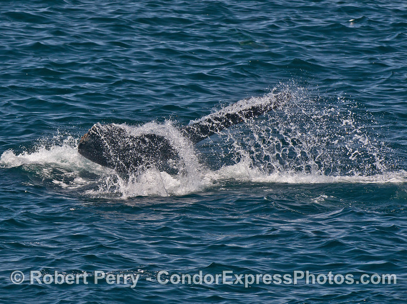 Humpback whale tail with lots of spray