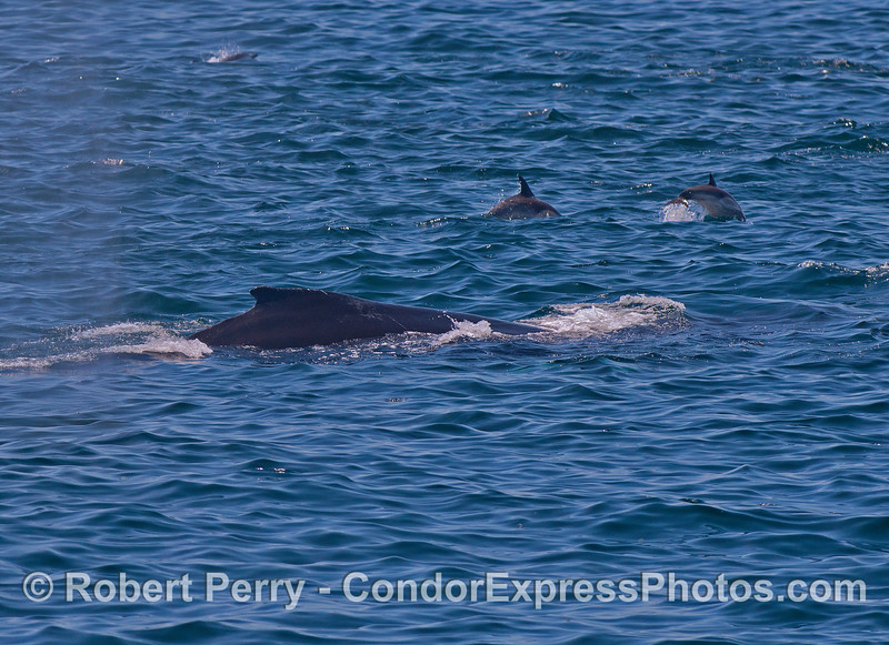 Humpback whale and long-beaked common dolphins together