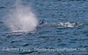 Humpback whale and 4 very close long-beaked common dolphins - are they in contact?