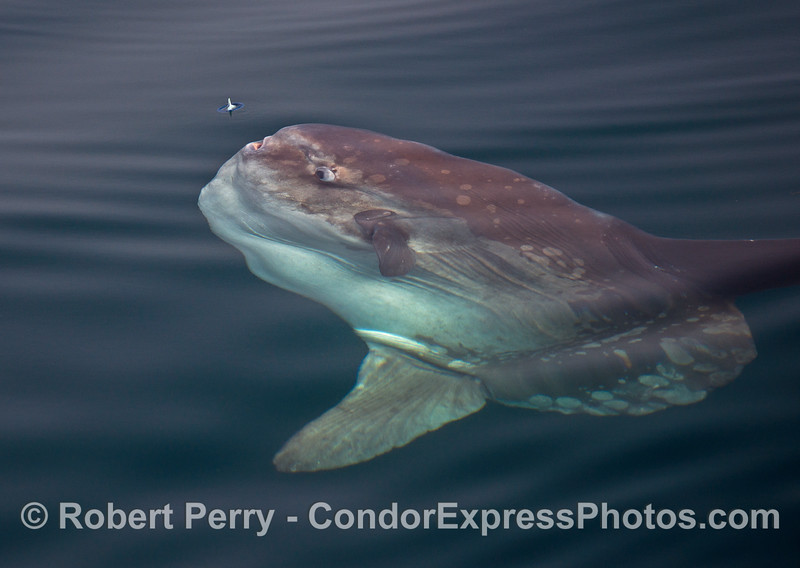 Ocean sunfish, Mola mola, about to devour a Velella velella on the surface