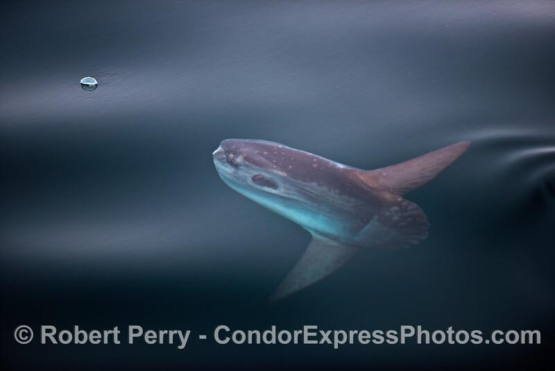 Ocean sunfish, Mola mola, takes aim at a Velella velella on the surface
