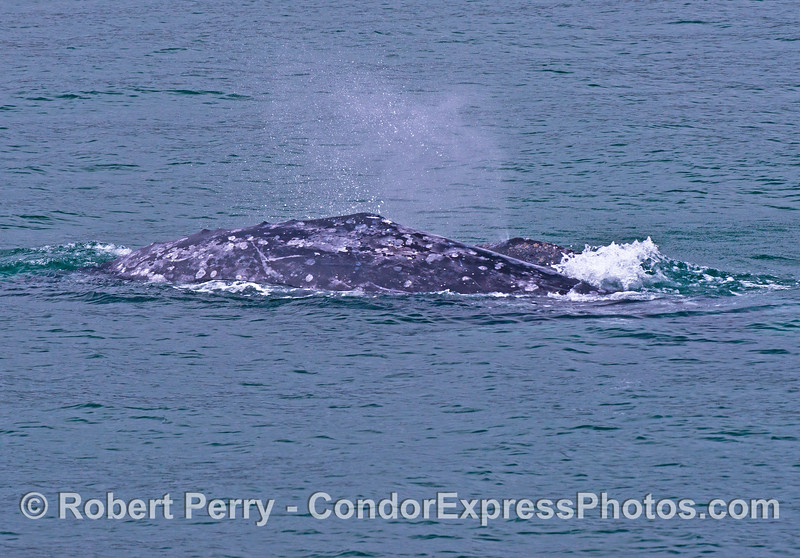 Mother gray whale and her spouting calf