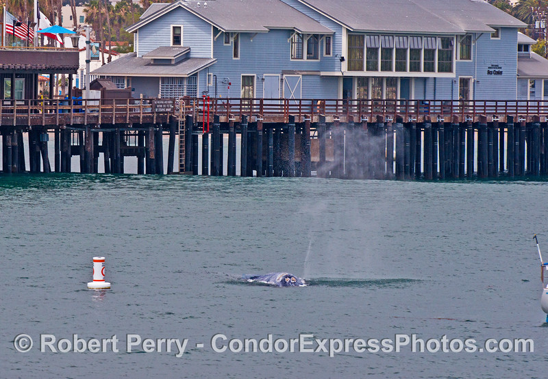 Gray whale near Santa Barbar Natural History Museum's Sea Center on Stearn's Wharf