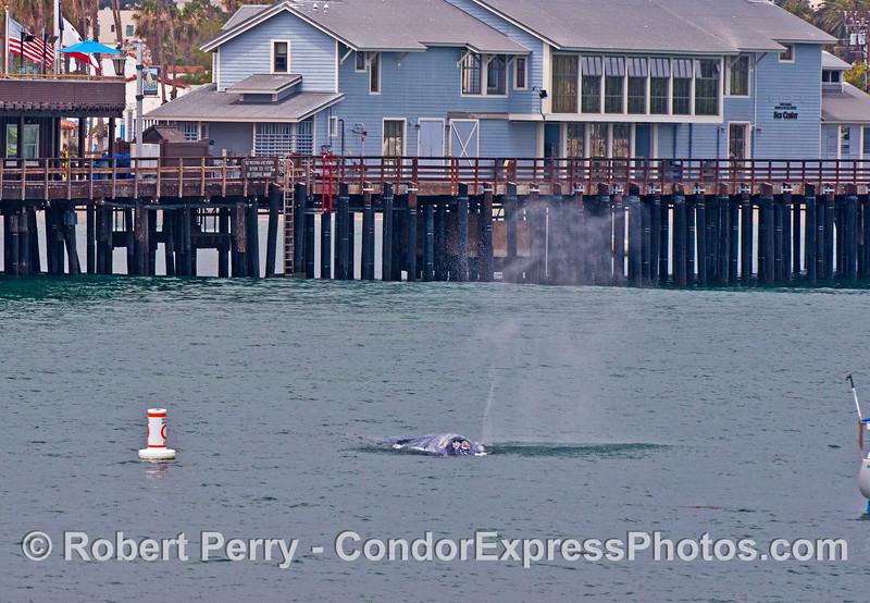 Gray whale near Santa Barbar Natural History Museum's Sea Center on Stearn's Wharf
