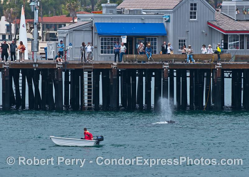 Gray whale close to Santa Barbara's Stearn's Wharf pier.