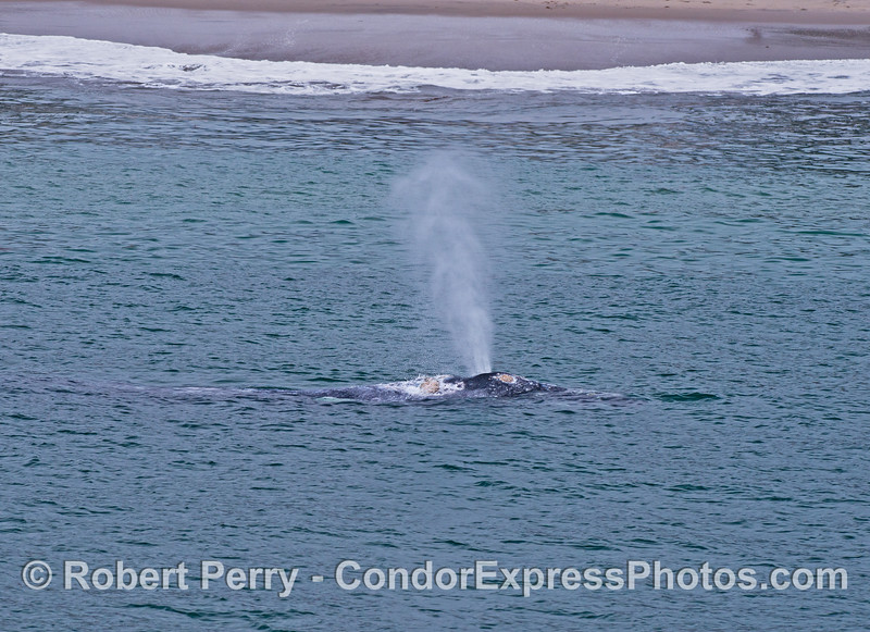 Gray whale spouting very close to Santa Barbara beach