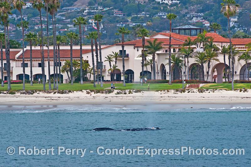 Gray whale spouting very close to Santa Barbara beach - Hyatt Hotel in back