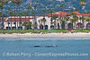 Gray whale spouting very close to Santa Barbara beach - Hyatt Hotel in back